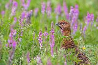 Willow ptarmigan in summer plumage in wild pea plant in Denali National Park, Alaska.