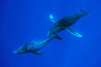 humpback whale mother and calf, .Megaptera novaeangliae, .Hawaii (Pacific).