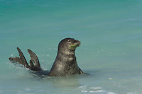 male Hawaiian monk seal, Neomonachus schauinslandi ( Critically Endangered Species ), spyhopping off beach on East Island, looking for females; fur around mouth is green from algae growth; French Frigate Shoals, Papahanaumokuakea Marine National Monument, Northwest Hawaiian Islands, USA ( Central Pacific Ocean )