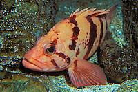 Tiger Rockfish..Pacific Coast, North America, Southern California to Gulf of Alaska..(Sebastes nigrocinctus).