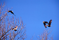 Mature Adult and Immature Young Bald Eagles (Haliaeetus leucocephalus) flying in Blue Sky