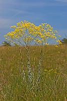 Färberwaid, Färber-Waid, Waid, Isatis tinctoria, Common Dyer´s Weed, Färberpflanze