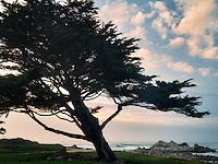 Cyprus tree and ocean. Pacific Grove, California