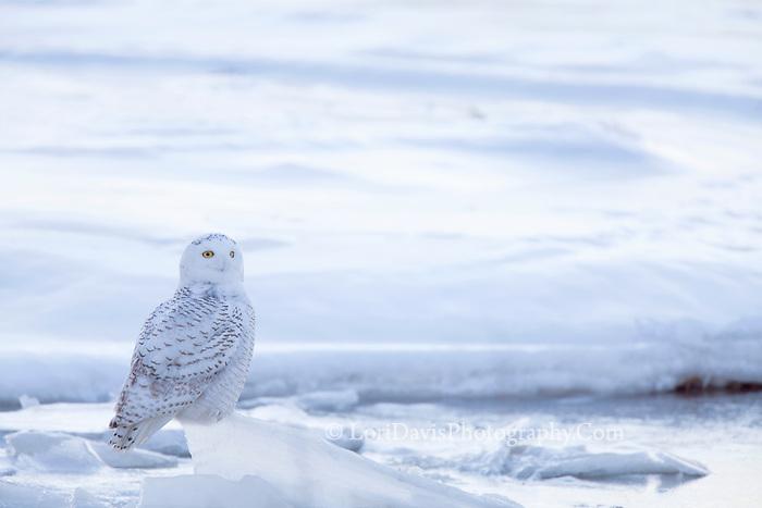 Snowy Owl on Ice   #B123