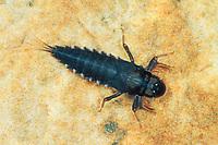 Rheinmücke, Eintagsfliege, Oligoneuriella rhenana, mayfly, larva, larvae