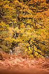 Common oak or pedunculate oak (Quercus robur) changing to autumn colours. Caledonian pine forest, Glen Strathfarrar, Scottish Highlands. Scotland. October.