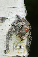 Male Northern Flicker or Red-shafted Flicker (Colaptes auratus) at nest cavity in aspen tree, Western U.S., June.