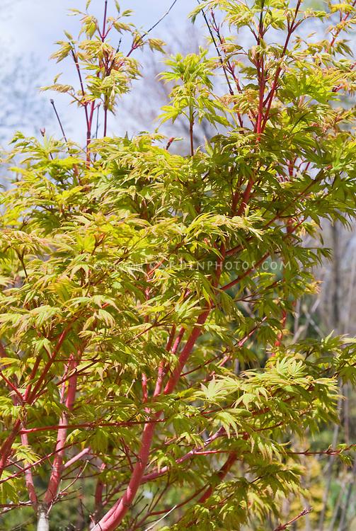 Acer palmatum Sango-kaku Coral Bark Japanese Maple in spring, Coral Bark maple tree