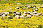 Italy, Calabria, sheep in flower meadow