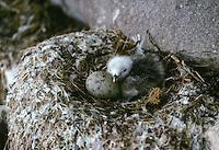 Dreizehenmöwe, Küken und Ei im Nest in der Steilwand eines Vogelfelsen, Dreizehen-Möwe, Möwe, Dreizehenmöve, Rissa tridactyla, kittiwake