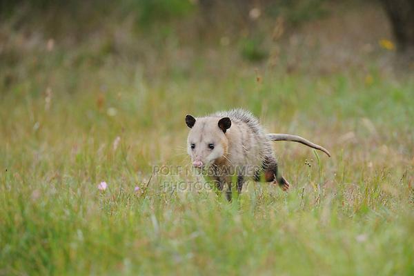 Virginia Opossum (Didelphis virginiana), adult running, Fennessey Ranch, Refugio, Coastal Bend, Texas Coast, USA
