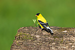 Male American goldfinch perched on a log in northern Wisconsin.