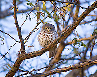 African Barred Owl, Elephant Valley Lodge, Botswana
