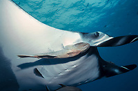 giant oceanic manta ray and remora, Isla San Benedicto, Mobula birostris, formerly Manta birostris, Remora remora, Mexico, East Pacific Ocean
