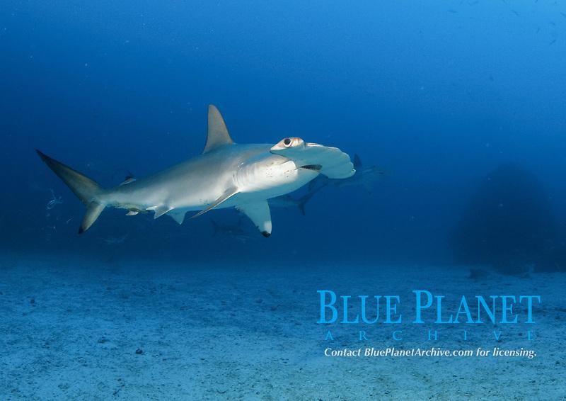 scalloped hammerhead shark, Sphyrna lewini, endangered species, schooling, Cocos Island National Park, Costa Rica, Pacific Ocean