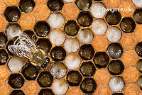 1B14-505z  Honeybee Hive with Worker tending larvae, open cells containing larvae, sealed worker cells, Apis Mellifera, Race Carniolans