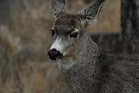 Mule deer yearling.
