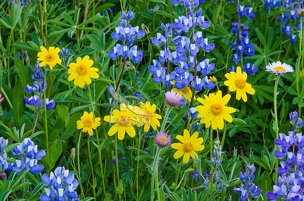 Wildflowers--mostly lupine, mountain daisy/fleabane and arnica--in subalpine meadow, Central Cascade Mountain Range, WA.  Summer.