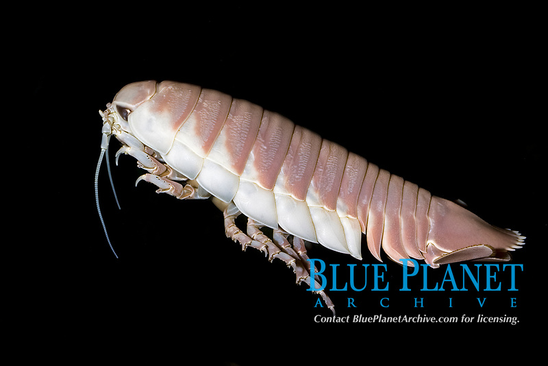 giant isopod, Bathynomus giganteus, a deep, cold water dwelling animal of the Arctic Ocean and Pacific Oceans (c)