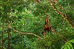 Bornean Orangutan (Pongo pygmaeus) in tropical rainforest, Sepilok Forest Reserve, Sabah, Borneo, Malaysia