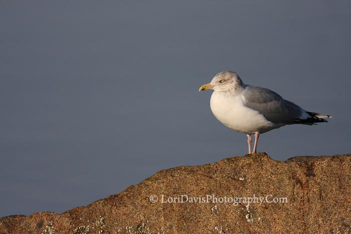 Gull on Rock #B16