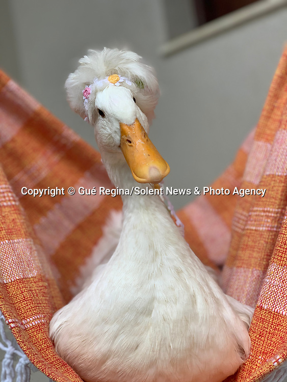 Pictured:  Britney.<br /> <br /> A stylish duck with a white quiff and inverted foot looks like Elvis Presley dancing.  The eight month old crested duck, called Britney, suffered a broken foot when she was younger - which with her hair makes the Elvis resemblance all the more uncanny.<br /> <br /> Despite her injury resulting from rough play with the family dog, Britney still sees herself as more of a Hound Dog, and prefers the company of canines to fellow birds.  The photos were taken by her owner, Guerdlei Grodzki, in her home in the city of Curitiba, in the southern Brazilian state of Paraná.  SEE OUR COPY FOR DETAILS.<br /> <br /> Please byline: Gué Regina/Solent News<br /> <br /> © Gué Regina/Solent News & Photo Agency<br /> UK +44 (0) 2380 458800
