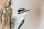 Male hairy woodpecker on a cold winter's day in northern Wisconsin.