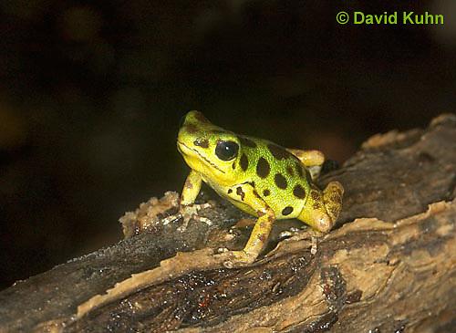 1014-07rr  Dendrobates pumilio ñ Strawberry Poison Arrow Frog ñ Strawberry Poison Dart Frog  © David Kuhn/Dwight Kuhn Photography