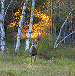 The sun setting behind a white-tailed doe in a northern Wisconsin field.