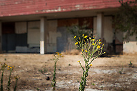 Tiny, bright yellow flowers against the soft background of a decrepit abandoned building along the trail at Encinal Beach along San Francisco Bay.