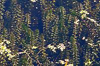 Kanadische Wasserpest, Bilck durch die Wasseroberfläche eines Gewässers, Wasser-Pest, Elodea canadensis, Canadian Pondweed