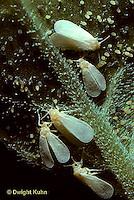 HO04-005z  White Flies - Greenhouse Trialeurodes vaporariorum