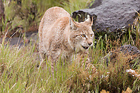 Siberian Lynx walking trhough some wet grass - CA