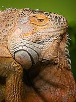 Lizard at the Wildlife and Bird Sanctuary Langkawi, Malaysia