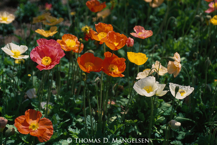 Spring rains in the rolling grasslands of California bring out incredible displays of poppy