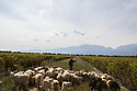 China - Ningxia - Goats roam around the vineyard of Silver Heights in order to remove the unwanted herbs and plants from the plantation.<br />