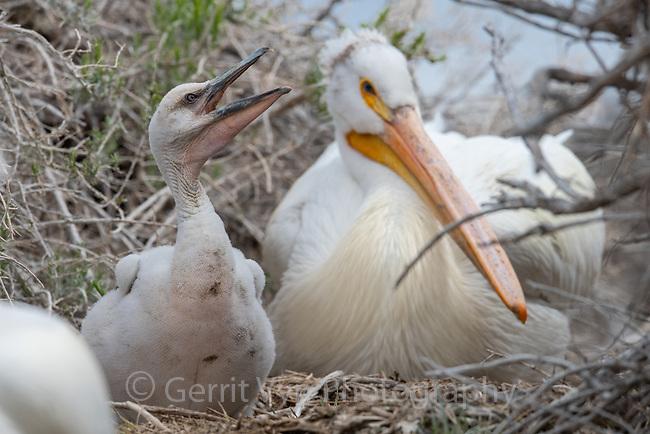American White Pelican (Pelecanus erythrorhynchos) chick in nesting colony. Lake County, Oregon. April.