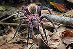 Colombian Purple Bloom Tarantula (Xenesthis immanis) on forest floor. Paujil Nature Reserve, Magdalena Valley, Colombia. Endemic
