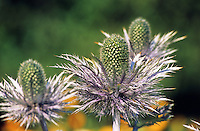 Alpen-Mannstreu, Alpenmannstreu, Mannstreu, Blaue Distel, Anhakn, Alpen-Distel, Alpendistel, Eryngium alpinum, Alpine Sea Holly