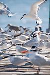 Captiva Island, Florida; a Sandwich Tern (Thalasseus sandvicensis) bird landing on a wooden pier covered with a flock of Royal Tern (Thalasseus maximus) and Sandwich Tern (Thalasseus sandvicensis) birds © Matthew Meier Photography, matthewmeierphoto.com All Rights Reserved