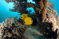 pair of golden butterflyfish, Chaetodon semilarvatus, fish, off coast of Hurghada, Red Sea, Egypt