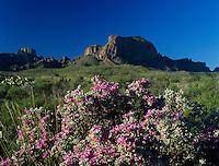 Texas Sage, Leucophyllum frutescens,Panther Junction, Big Bend National Park,Texas, USA
