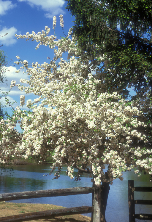 White spring flowering crabapple tree Malus hupehensis Malus hupehensis . Crab apple