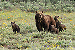 """A grizzly bear is spotted in a rare sighting with her quadruplet cubs as they go for a stroll in the Grand Tetons National Park, Wyoming, USA.<br /> <br /> With bears usually having just two cubs, these adorable quadruplets, just six months old, are a rare sight with only eight sets having been born in the last forty years.<br /> <br /> Photographer Pattie Walsh said, """"The cubs are quite active and playful, and it must be tricky for the mother to keep an eye on all of them"""".<br /> <br /> """"They will stay with her for about two years, where they will be taught how to hunt and survive for themselves.""""<br /> <br /> Please byline: Pattie Walsh/Solent News<br /> <br /> © Pattie Walsh/Solent News & Photo Agency<br /> UK +44 (0) 2380 458800"""