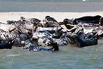 Gray Seals hauled out on the Chatham Bars, Cape Cod.  Close-up of several seals facing camera, mainly juveniles.