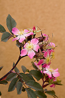 Pink rose flower, Rosa glauca by adobe wall in New Mexico garden