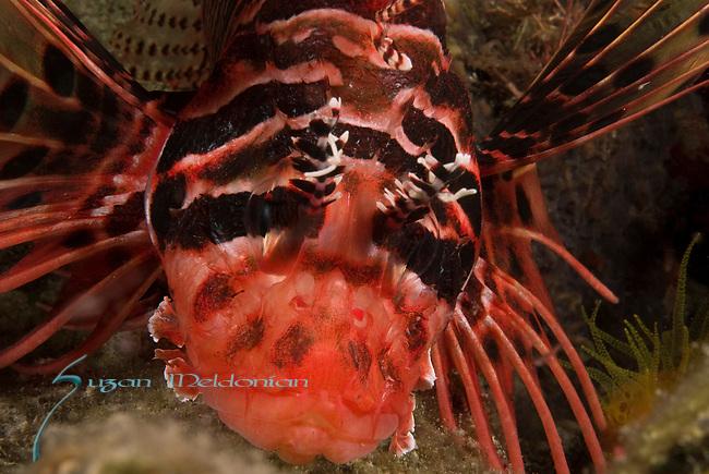 Spotfin Lionfish ,  Pterois antennata