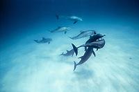 common bottlenose dolphin, Tursiops truncatus, pod, socializing, competing for dominance, mock combat, Bahamas, Caribbean Sea, Atlantic Ocean
