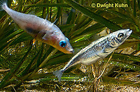 1S47-605z  Threespine Stickleback, male courting gravid female with a zigzag dance, she responds with a head-up posture to display her swollen belly, Gasterosteus aculeatus, Freshwater male - Marine female.