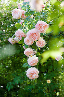 Beautiful climbing pale pink 'Pierre de Ronsard 'roses in the Ca' delle Rose garden